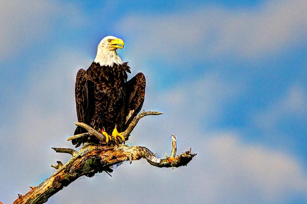 Bald Eagle at Eagle Lake by jvoweaver