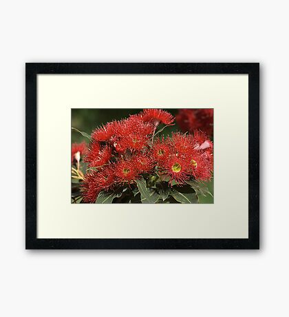 flower-eucalyptus-red-flora Framed Print