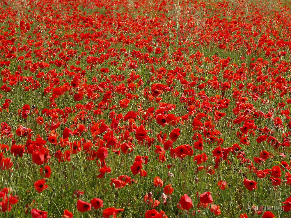 Field of Poppies by AndyHuntley