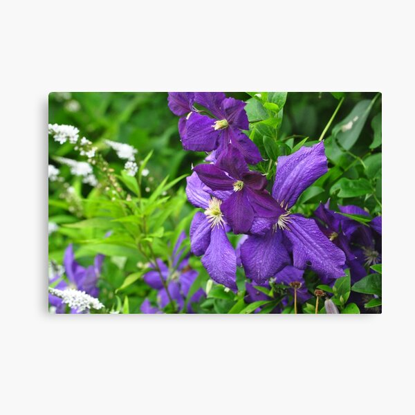 Clematis vines among wildflowers  Canvas Print