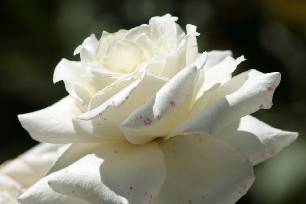 White Rose in a Garden by rhamm