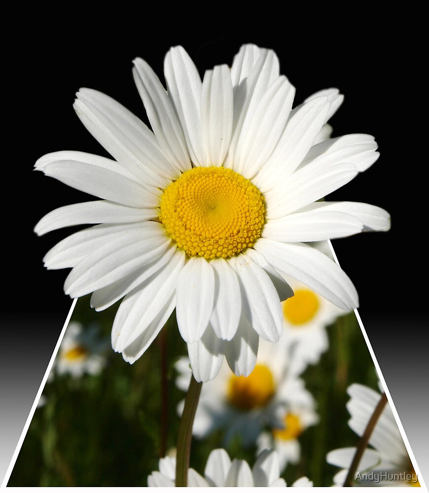 Pop Up Daisy by AndyHuntley