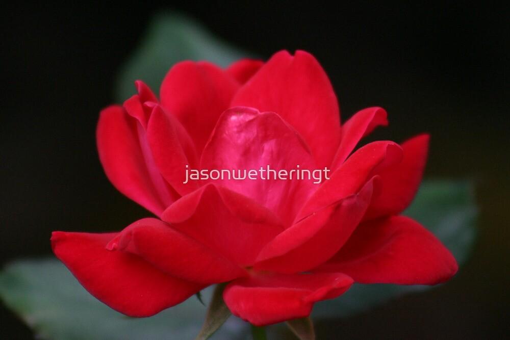 Knockout Rose by jasonwetheringt