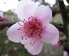 Single Nectarine Blossom by DPalmer