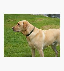 Yellow Lab Photographic Print