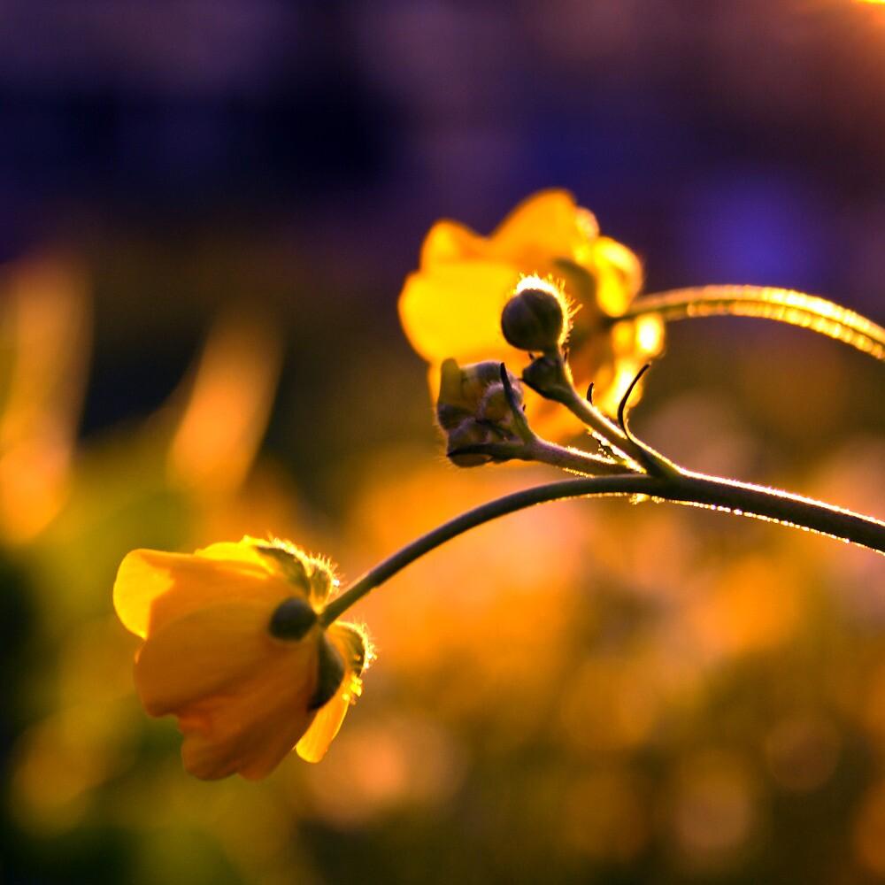 The Wild Flower Sunset by EmmJW