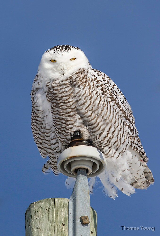 Fluffy Snowy Owl by Thomas Young