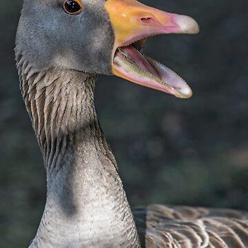 Grey duck closeup by mjamil81