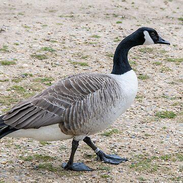 Duck walk by mjamil81