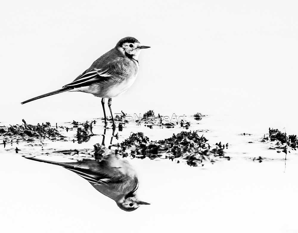 Pied Wagtail Black & White by TimNatureArt