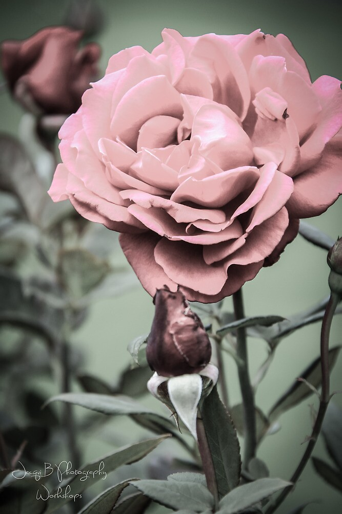 Old World Rose by Jacqui Barr