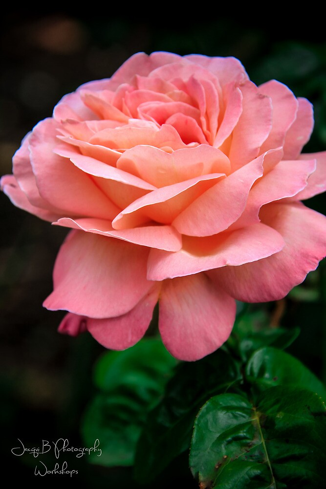 Rose in the Canterbury by Jacqui Barr