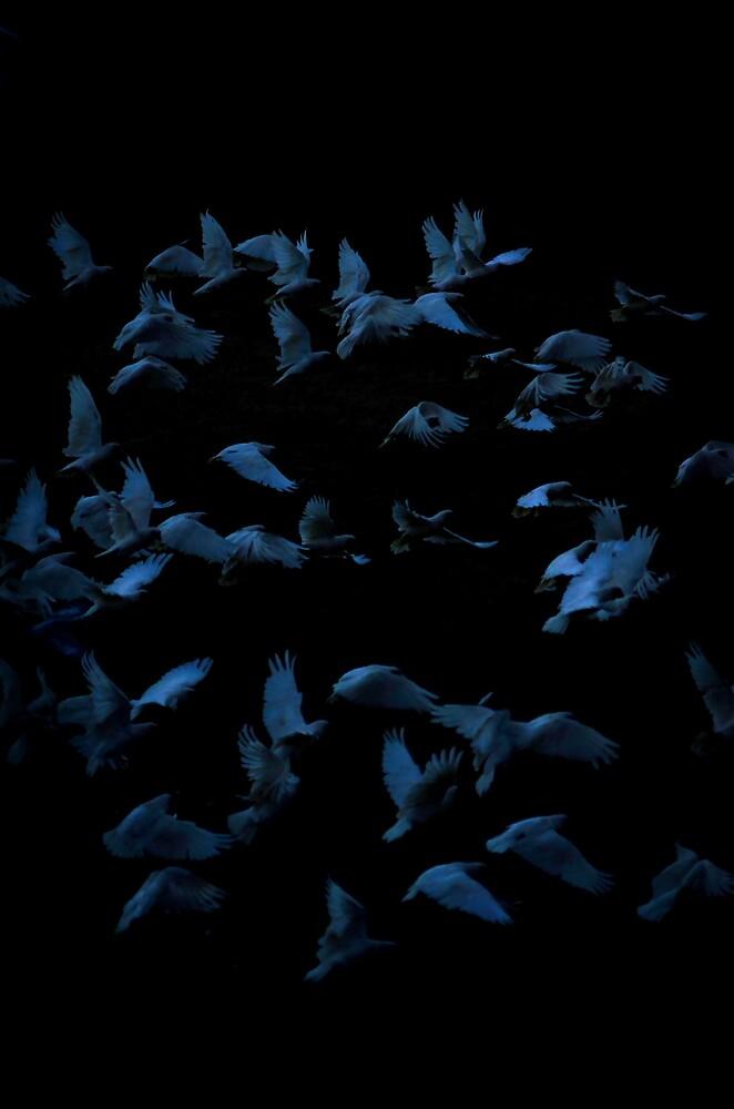 Evening Corellas by Simon Veitch