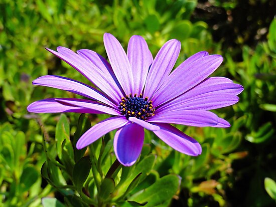 Purple African Daisy  by Robert Meyers-Lussier
