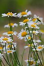 Shasta's by NatureGreeting Cards ©ccwri