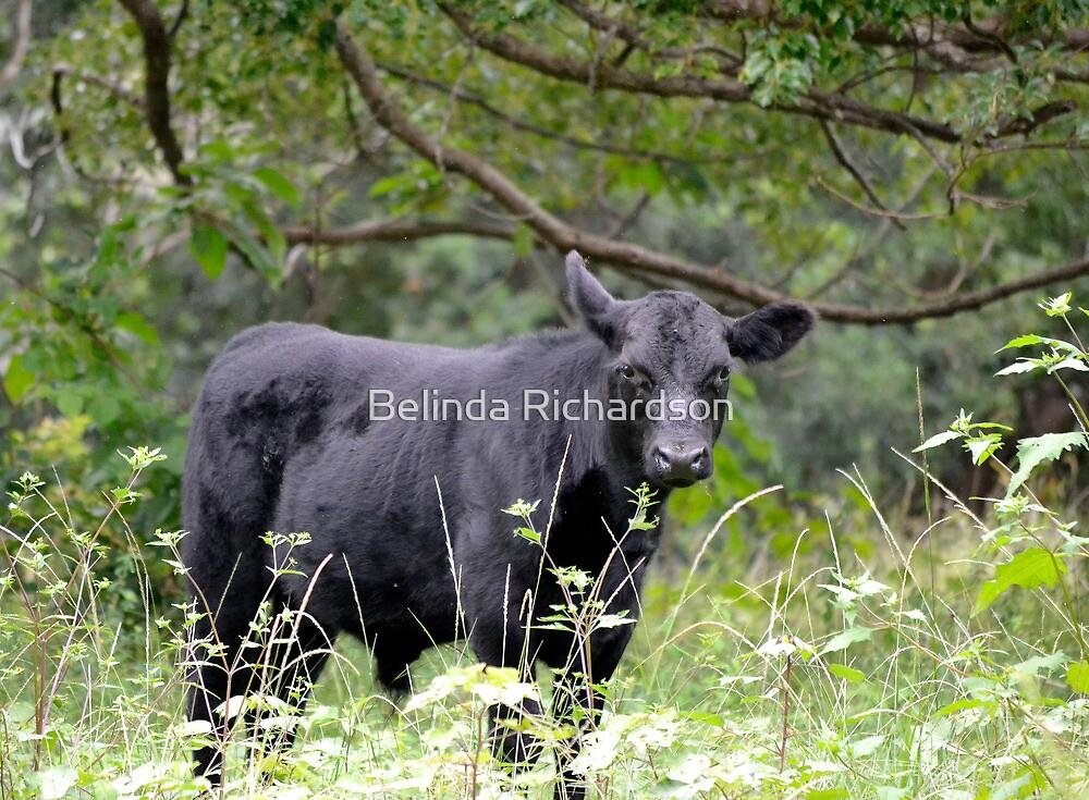 Cautious Calf by Belinda Richardson