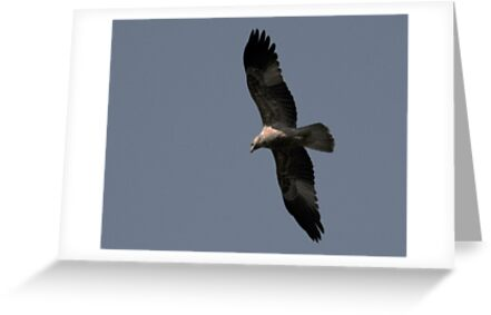 Wedge Tail Eagle - Northern Australia by Sean  Carroll