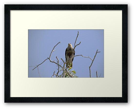 The Wedge Tail Eagle Awaits by Sean  Carroll