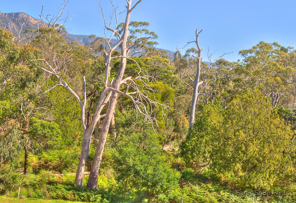 Gum Trees In The Grampians by Sarah SaBe Prints