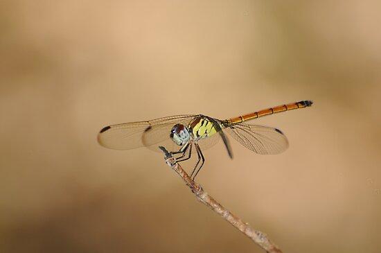 Dragon Fly - Northern Australia by Sean  Carroll
