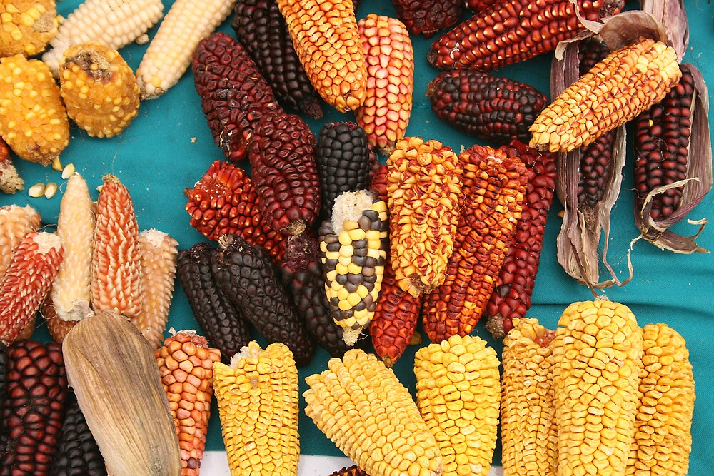 Ears of Corn at the Market by rhamm