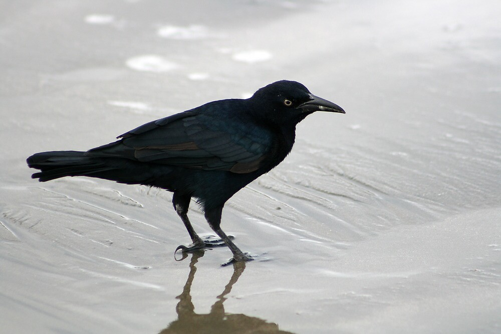 Crow Reflected on Wet Sand by rhamm