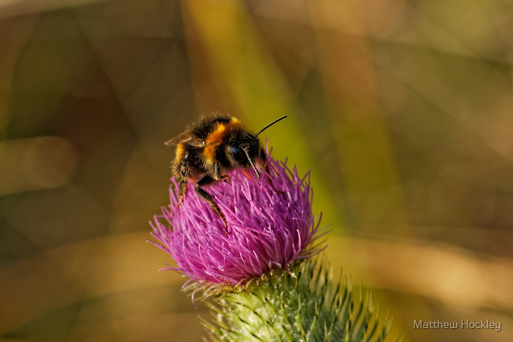 Bumblebee (Bombus Terrestris) by Matthew Hockley