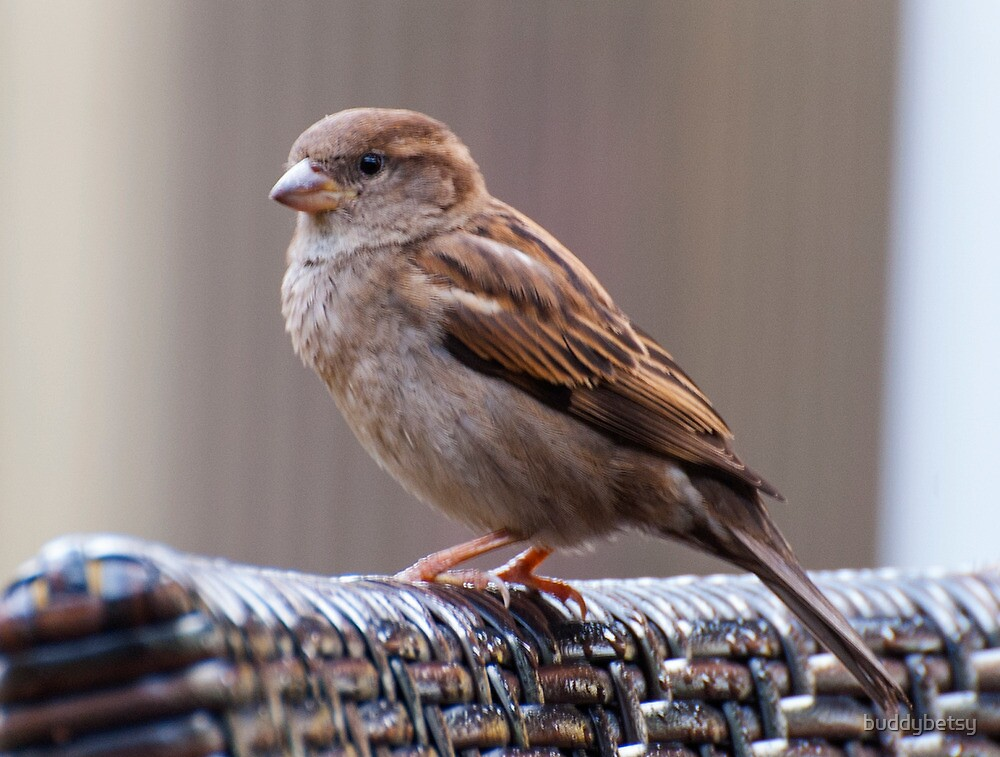 Mighty sparrow.. by buddybetsy