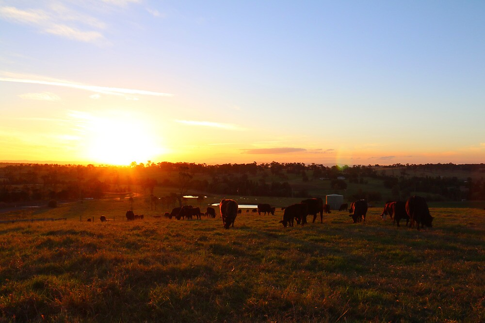 Cows at Sunset by Jill Patterson