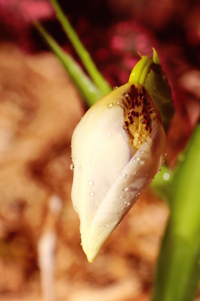 Lily bud by Jill Patterson