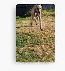 Grace - Stag Hound 1.5 years Canvas Print