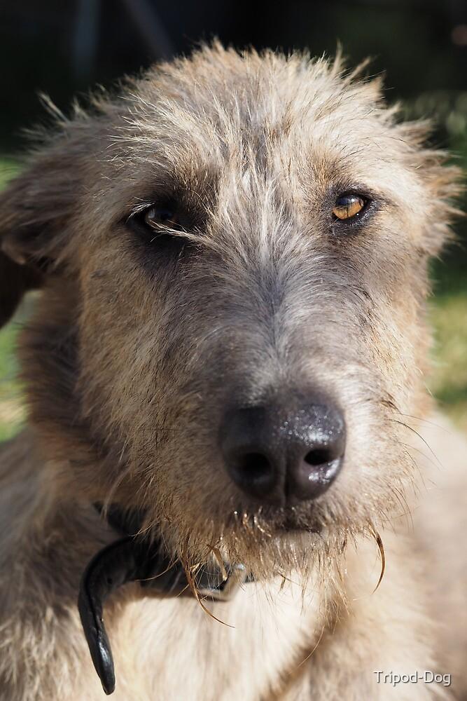 Grace - Stag Hound 1.5yrs by Tripod-Dog