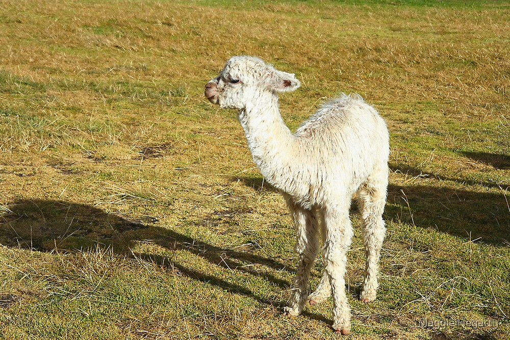 Baby Llama by Maggie Hegarty