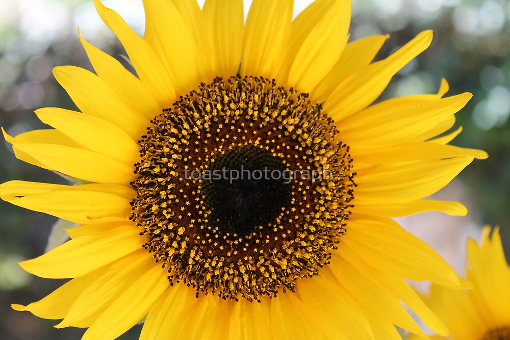 Sunflower Print by toastphotograph