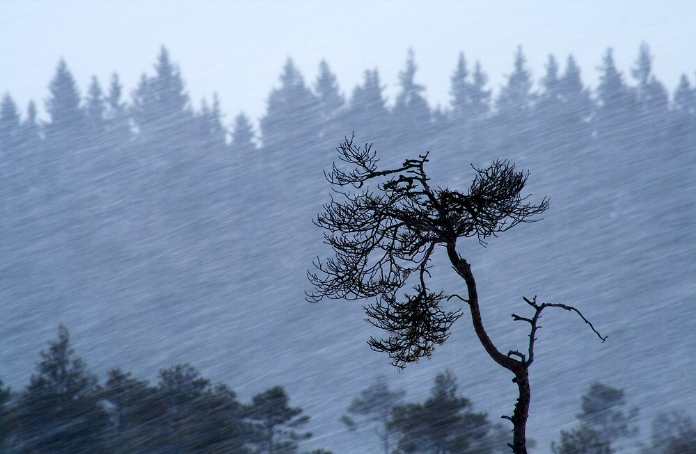 1.2.2014: Pine Tree in Blizzard by Petri Volanen