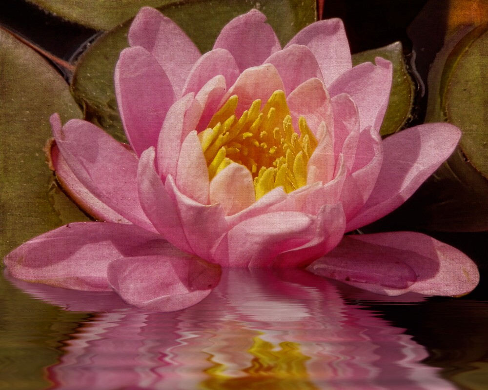 Pink Water Lily Dreams by PineSinger