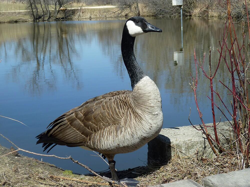 Canada Goose by rhamm