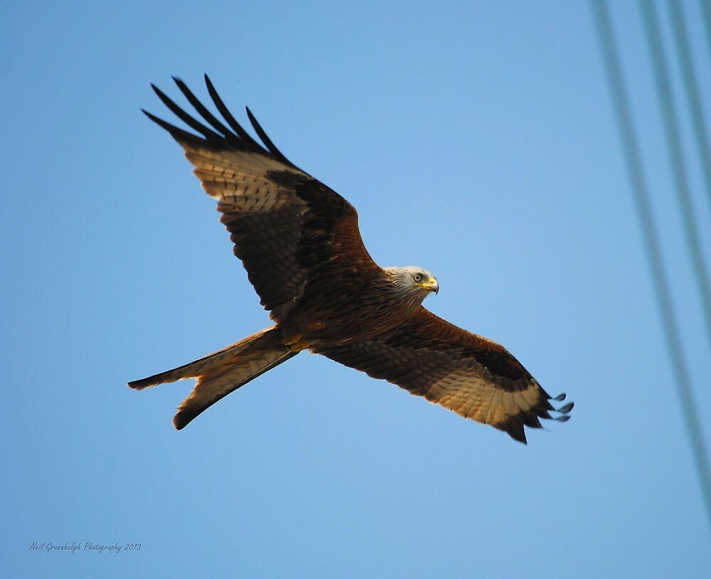 Red Kite In Flight by greenie88