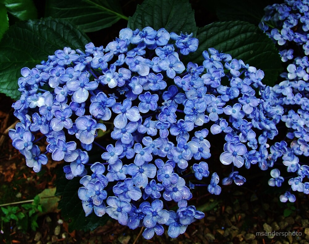 Large blue flower by msandersphoto