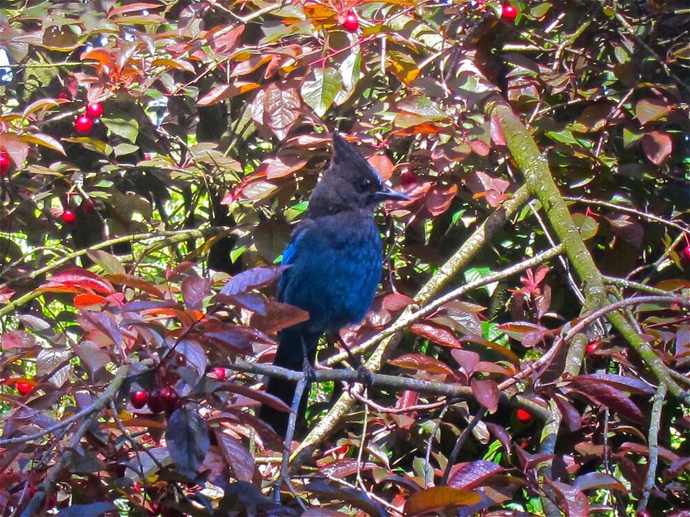 Blue Jay by David Denny