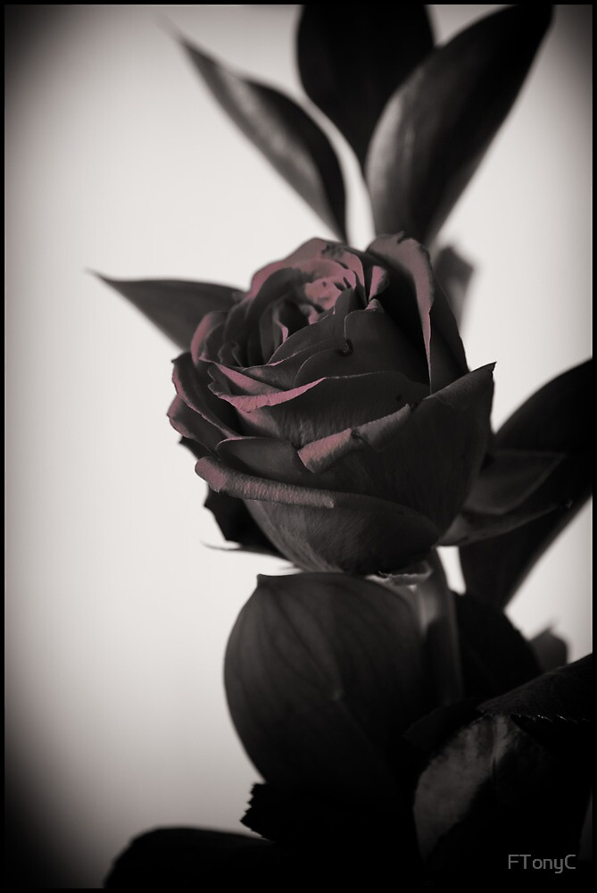 Red Rose by FTonyC