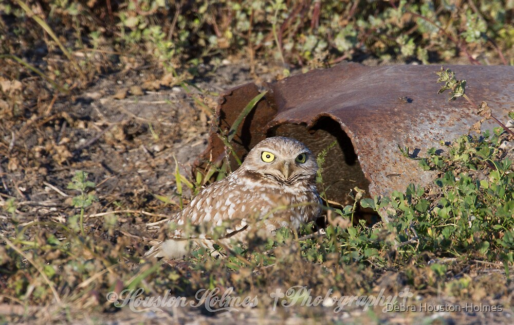 Burrowing Owl by Debra Houston-Holmes