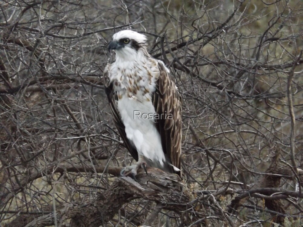 Osprey - Bird of Prey by Rosaria
