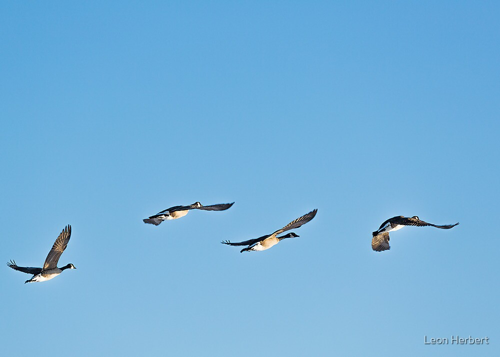 Canada Geese flying by Leon Herbert
