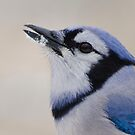 Blue Jay by awcreations765