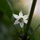 Thai Chilli Flower by Hugh Fathers