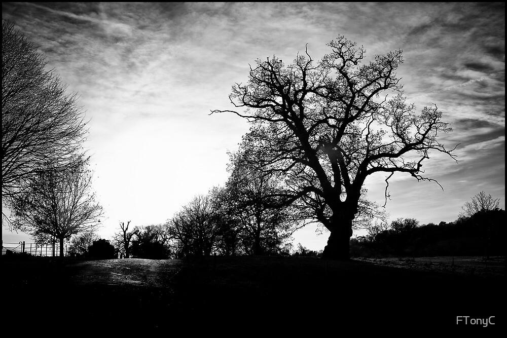 Winter Sun Trees by FTonyC