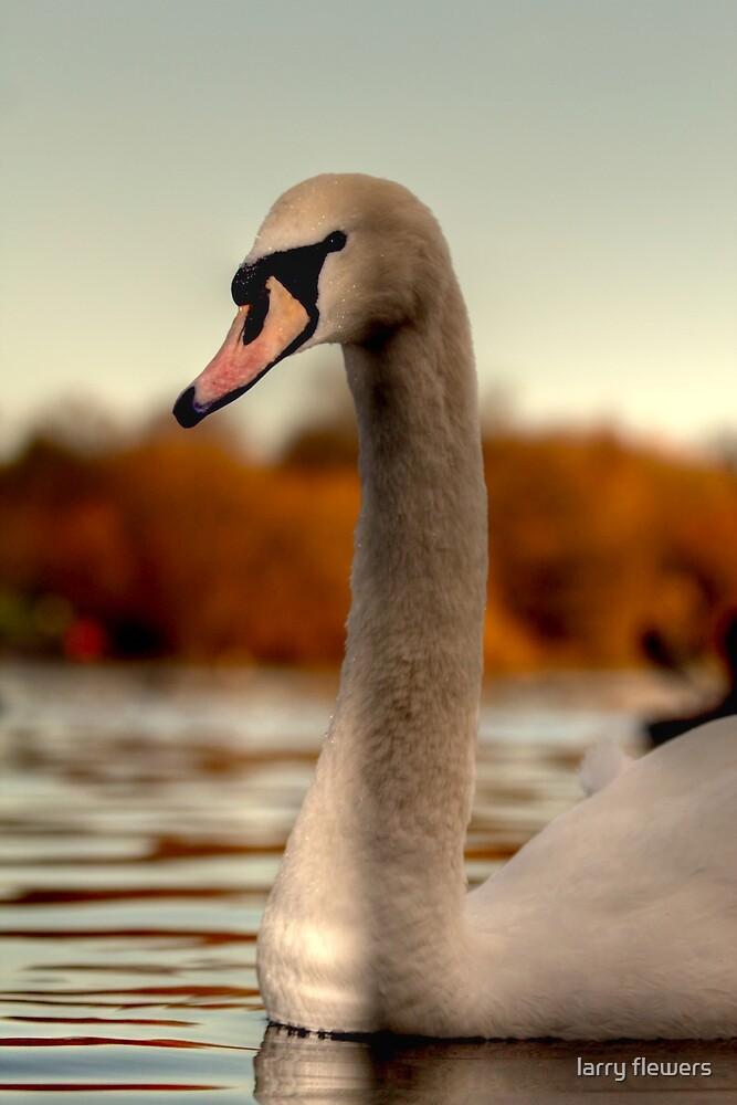 Mute swan by larry flewers