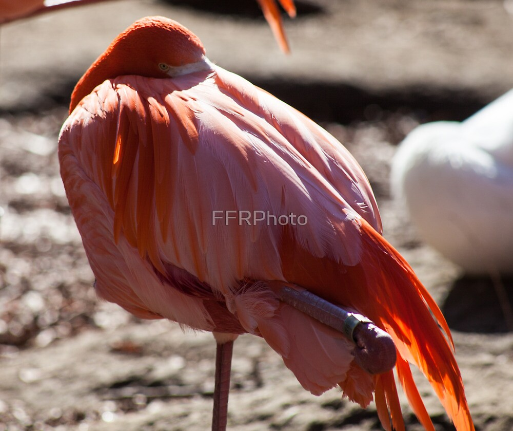Flamingo Preening by FFRPhoto