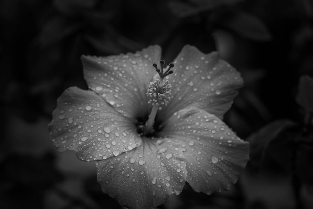 Hibiscus by David Gallo